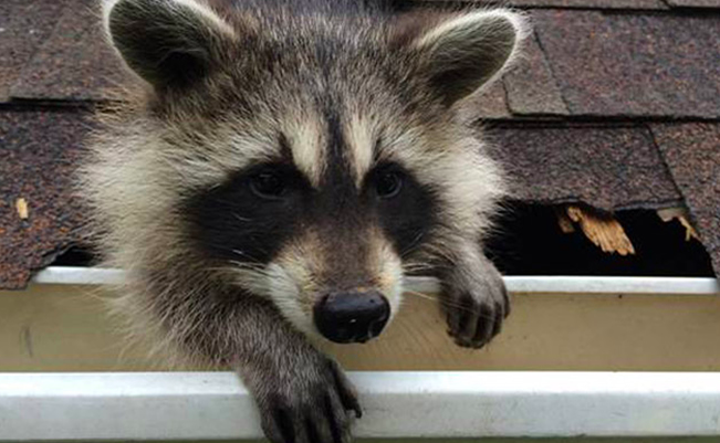 a030393c9c Signs of Raccoons in the Attic - AllWildLife.ca