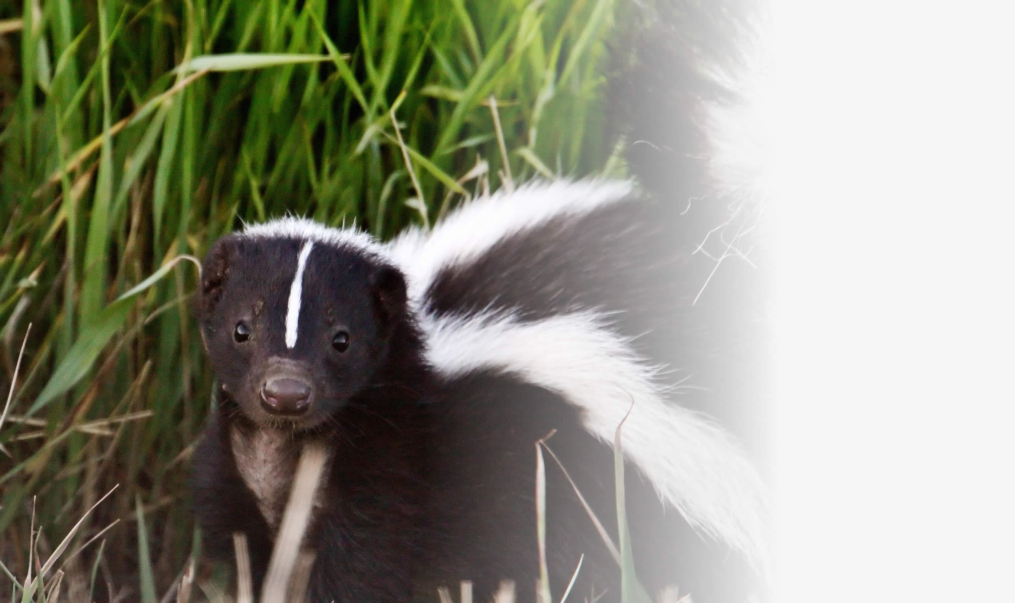 The Top 10 Ways to Remove the Smell of Skunk from the House ...