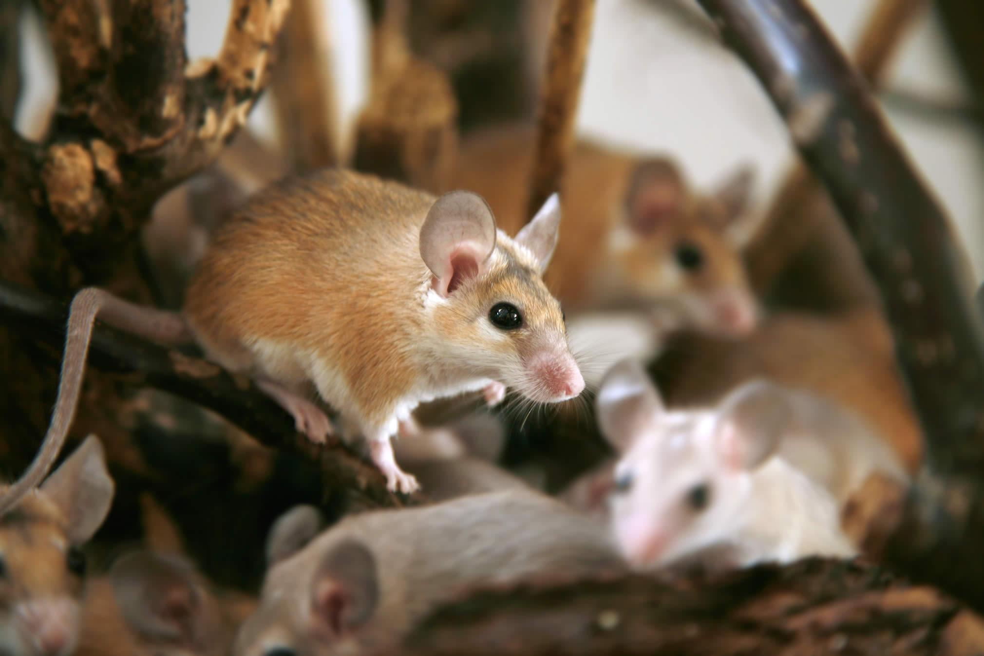 What Do Mice Sound Like? - AllWildLife ca