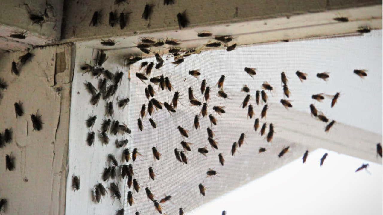 How To Get Rid Of Cluster Flies Allwildlife Ca